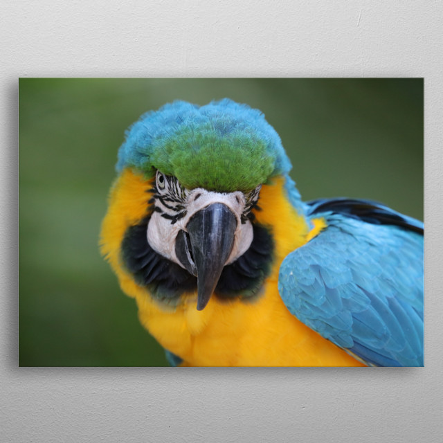 yellow blue macaw metal poster