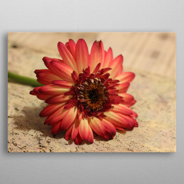 Red gerbera lies on an interesting background.  metal poster
