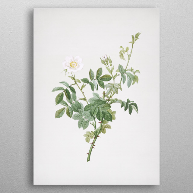Vintage Botanical Illustration. High Res Scan From Original Engraving. Digitally Enhanced.  metal poster