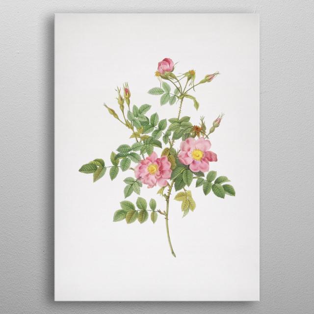 Vintage Botanical Illustration. High Res Scan From Original Engraving. Digitally Enhanced.  metal poster