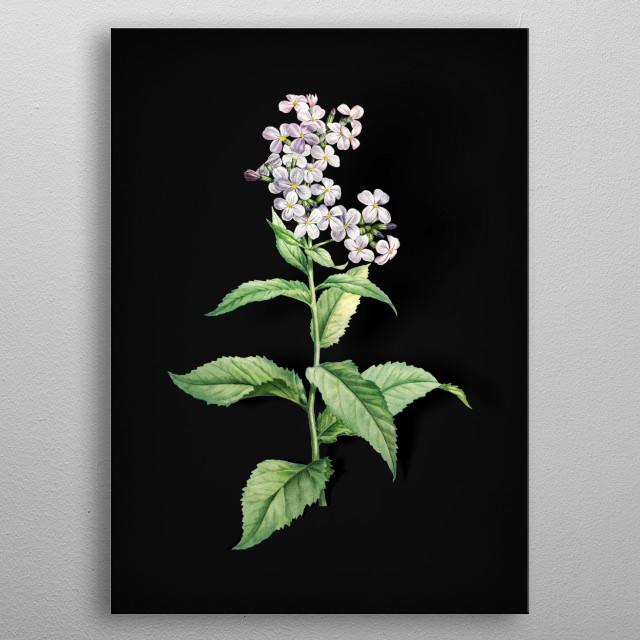 Vintage Botanical Illustration. High Res Scan From Original Engraving. Digitally Enhanced. Isolated On Black Background  metal poster