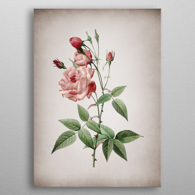 Vintage Botanical Illustration. High Res Scan From Original Engraving. Digitally Enhanced. Isolated On Aged Parchment  metal poster