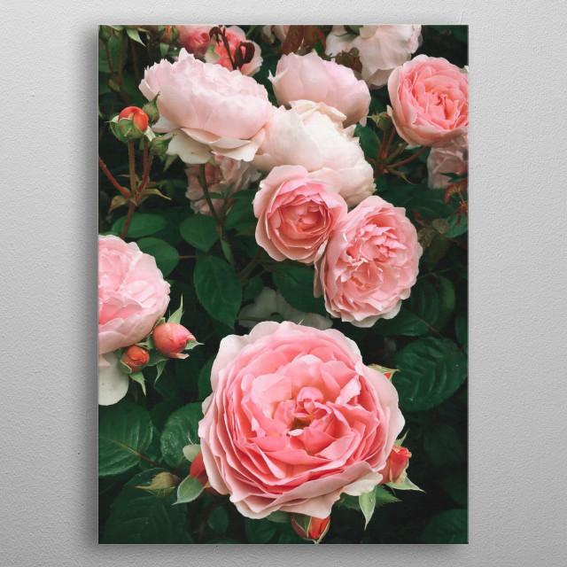 A dark romantic photograph of a luscious rose garden. metal poster