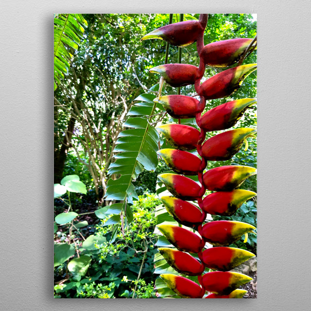 Photography of Heliconia - what a beautiful moment of nature at Secret Garden. metal poster