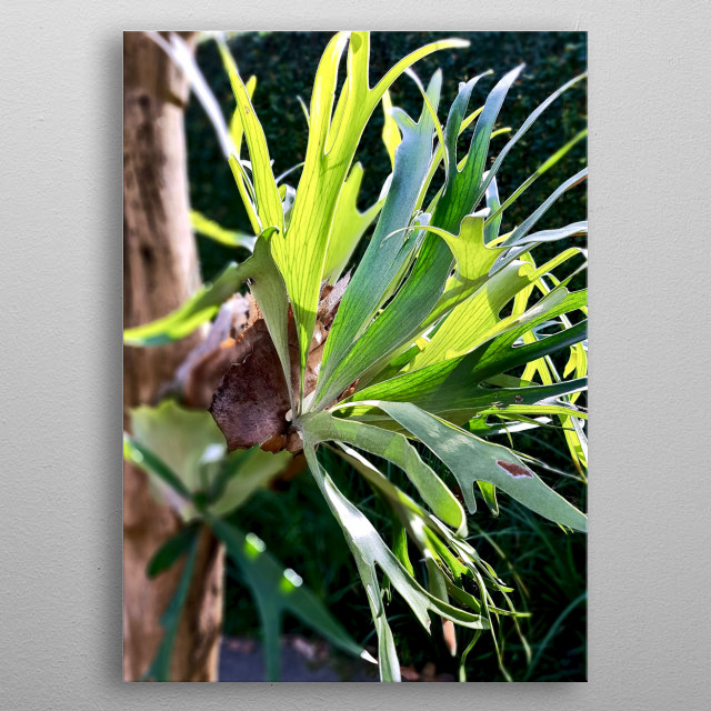 An amazing elkhorn fern in nature, happy and healthy as it should be.  What surprise the eyes enjoy the soul. metal poster