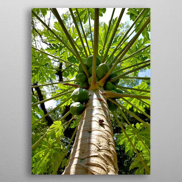 Photography of Papaya Tree - what a beautiful tree and delicious fruit. metal poster