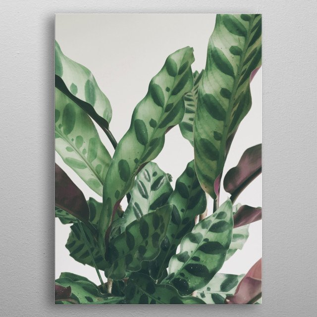 A modern still life photograph of a patterned plant with interesting leaves. metal poster
