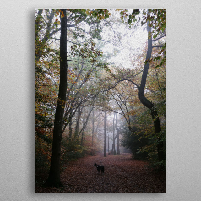 Border Collie stops on the path to look into the forest. metal poster