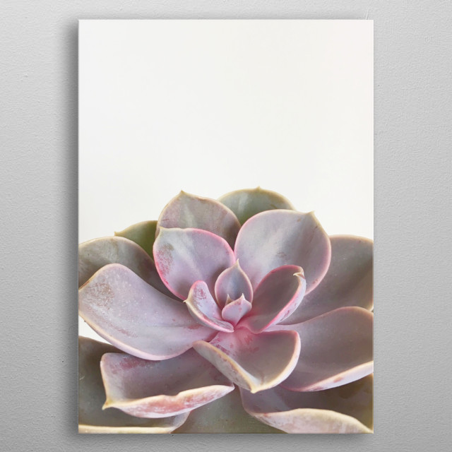 A minimal still life photograph of a purple succulent. metal poster