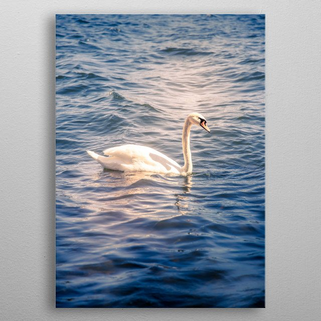 A beautiful swan swimming in the water on a warm summer day.  Picture taken in Stockholm, Sweden using a Canon EOS 6D Mark II. metal poster