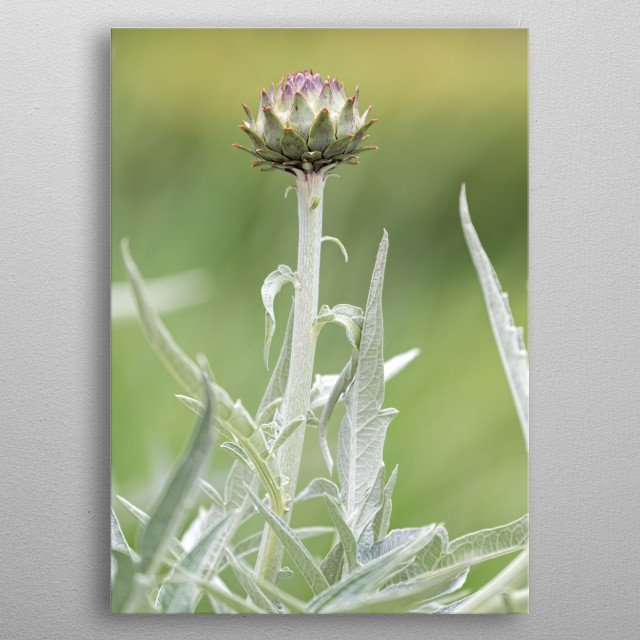 cynara scolymus plant in te garden metal poster