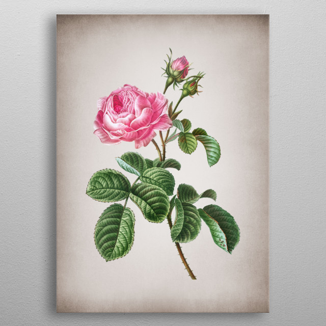 Vintage Botanical Illustration. High Res Scan From Original Engraving. Digitally Enhanced. Isolated On Parchment. 2nd Botanical Collection  metal poster