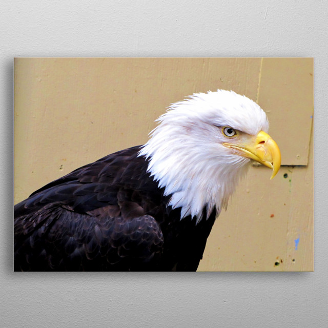Alaskan bald eagle metal poster