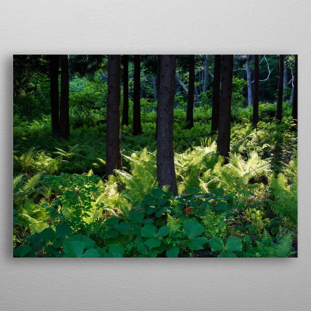 The sun shines into the pine forest, and a bright light beautifies the picture. metal poster