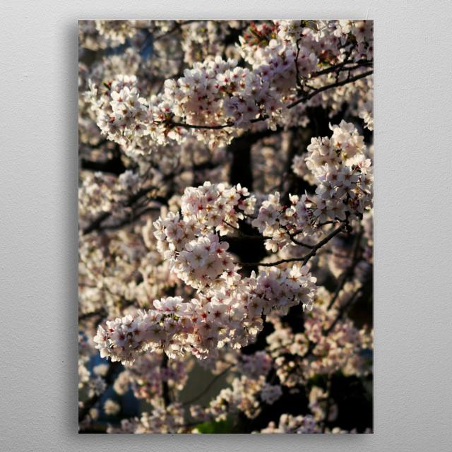 Sakura cherry blossom metal poster