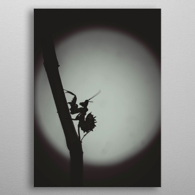 A spiny flower mantis silhouetted in front of the moon. metal poster