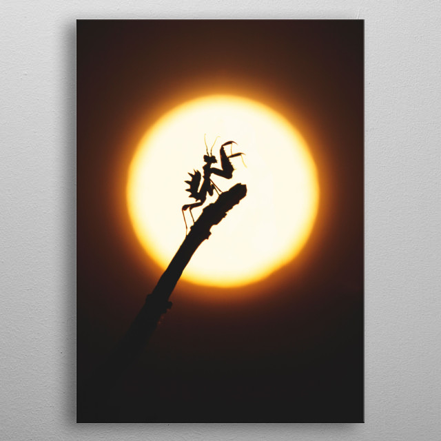 A spiny flower mantis silhouetted in front of the sun. metal poster