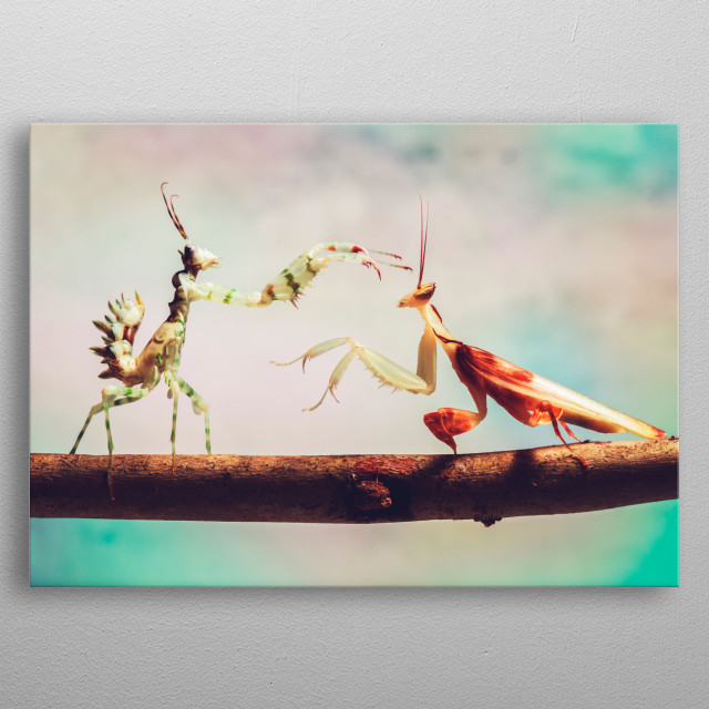 Two praying mantises standing of against each other. metal poster