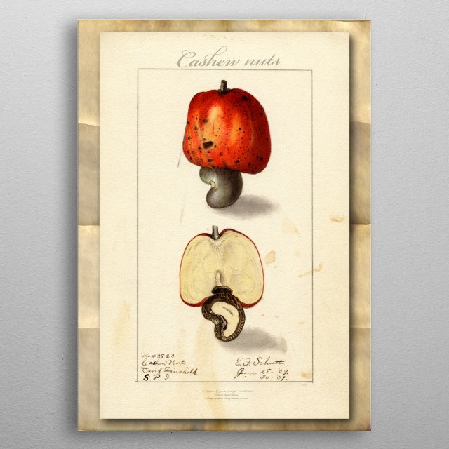 Vintage watercolor illustration of cashew nuts metal poster