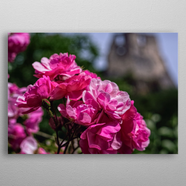 Blooming roses in front of the ruins of the medieval castle of an European village. metal poster