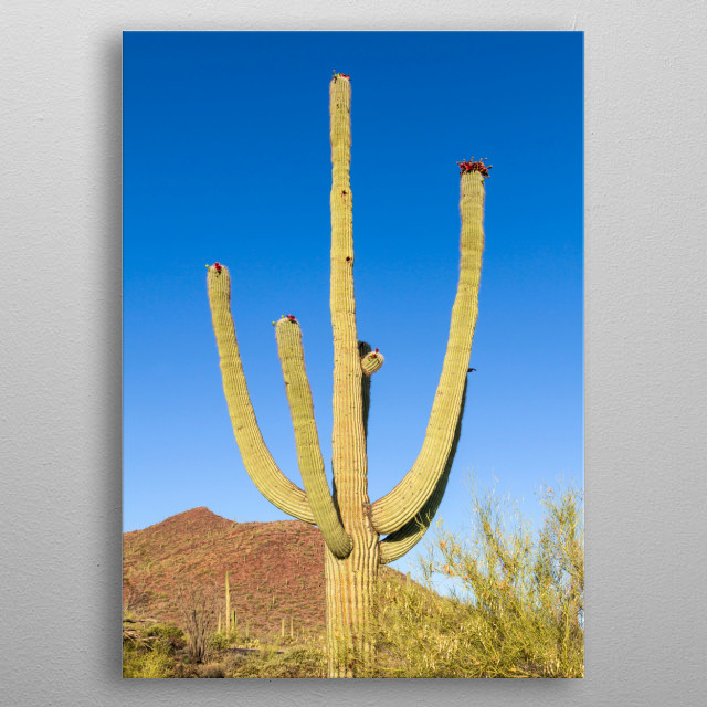 Saguaro National Park in the Sonora Desert near Tucson serves to protect the majestic cacti. This is an impression from the western part. metal poster