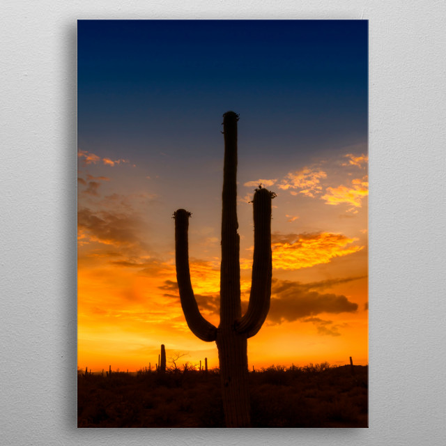 The Saguaro National Park in the Sonora Desert near Tucson serves to protect the majestic cacti.  Colorful sunset with a lovely saguaro. metal poster