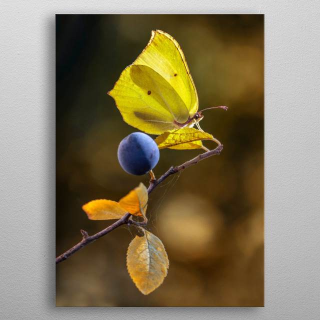 Lemon Butterfly on blackthorn branch metal poster