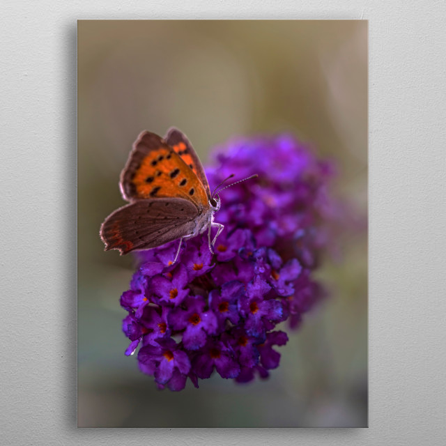 Orange butterfly resting on purple flowers metal poster