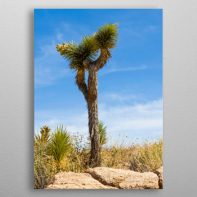 Joshua Tree National Park is located in southeastern California. The Joshua Trees characterize the landscape. Lovely landscape impression. metal poster