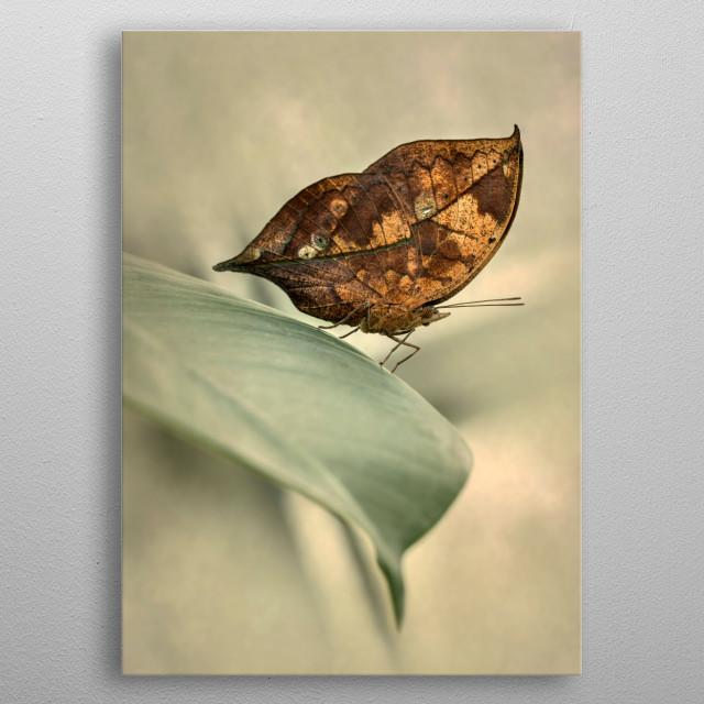 Orange Oakleaf Butterfly resting on the big leaf metal poster