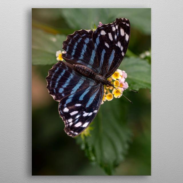 Pretty blue Myscelia ethusa butterfly on the flower metal poster