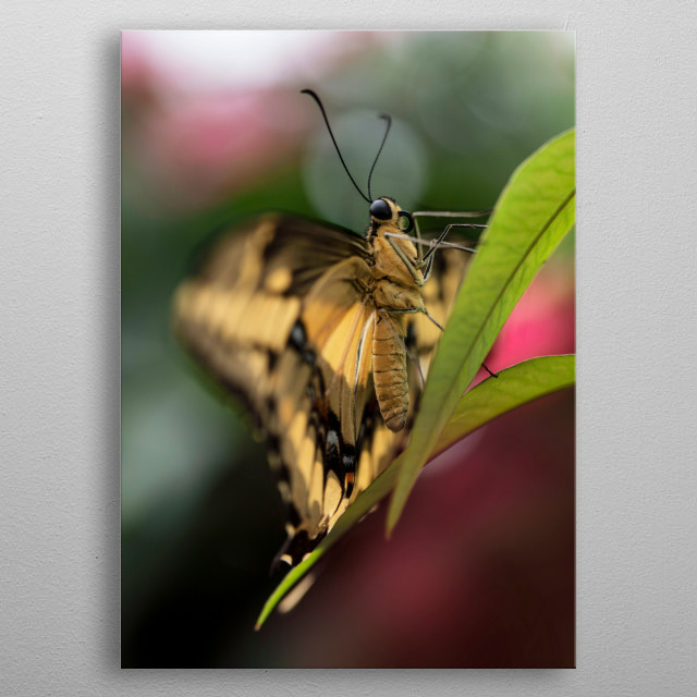 Pretty King Swallowtail (Papilio Thoas) butterfly resting on the flower metal poster