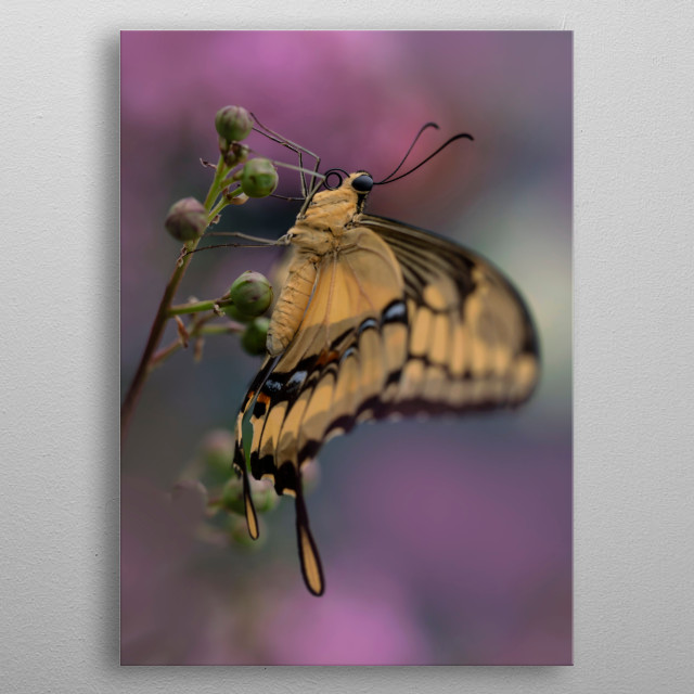 Pretty butterfly King Swallowtail resting on the plant. Photo taken on butterflies exhibition in Poland. 2019 metal poster