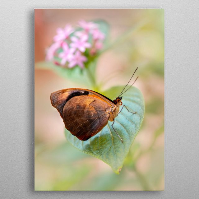 Pretty brown shiny butterfly resting on the leaf metal poster