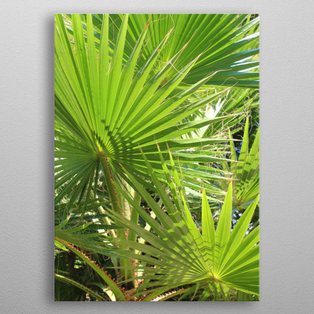 Photo of a palm tree and beautiful green palm leaves.  metal poster