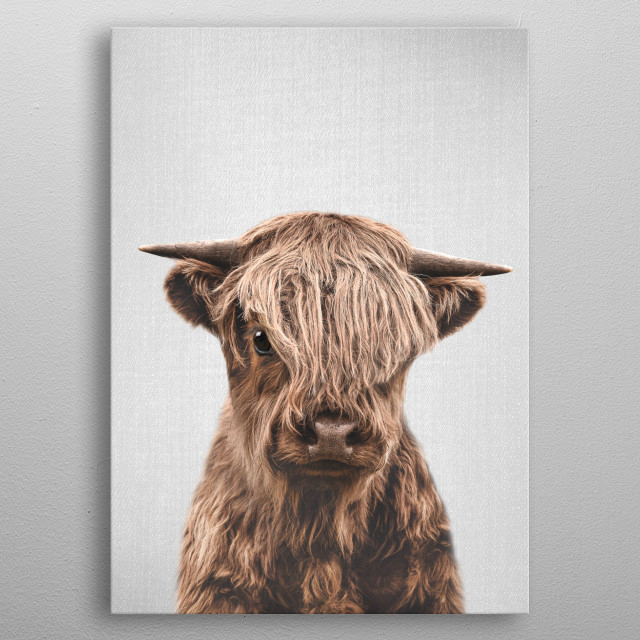 """Highland Calf - Colorful.  For more colorful animals check out the collection in the main page of my shop """"Gal Design"""". metal poster"""