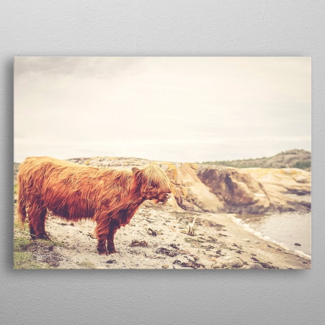 scotland highlands cow metal poster