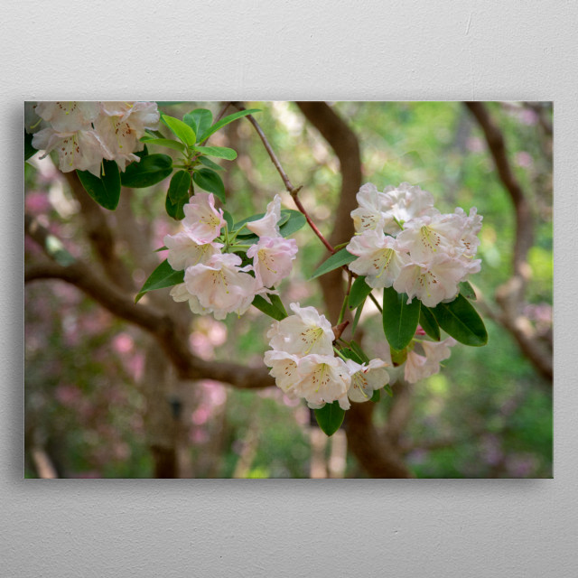 These white rhododendron blossoms have green and glossy leaves.  Brown trunks of neighboring trees snake through the middle of the image. metal poster
