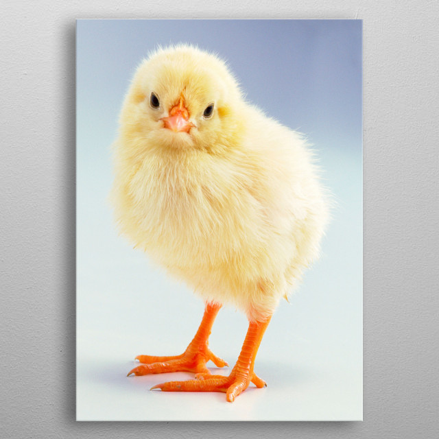 Cute Chick Poster Baby Animals Poster Print Metal Posters