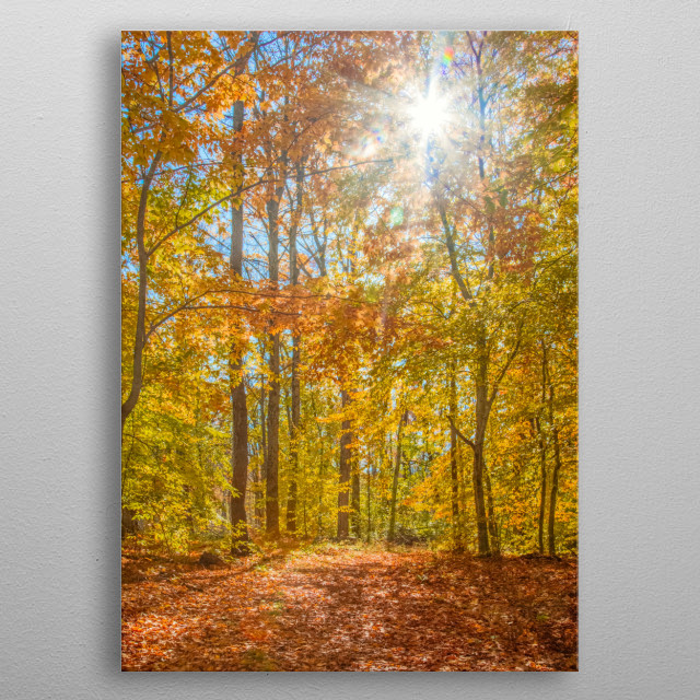 Mustard and golden yellow leaves adorn trees in a New York forest in fall. Rust colored leaves cover the ground. Sunlight shines down. metal poster