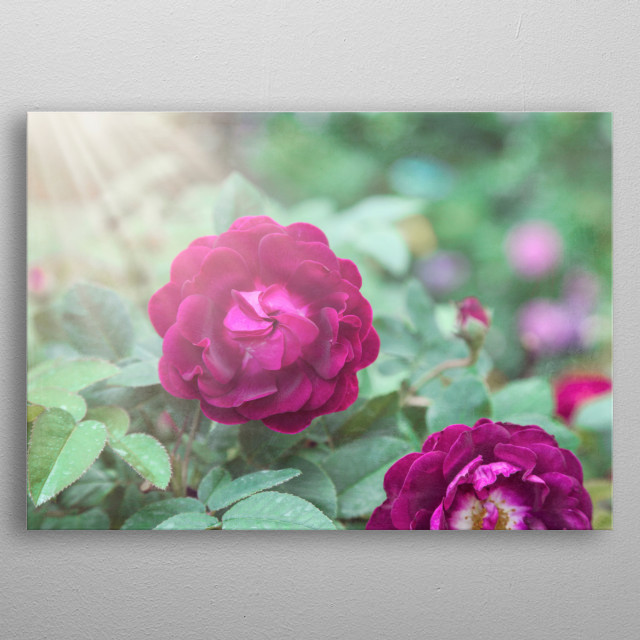 Sunbeams illuminate berry pink roses. They are surrounded by mint and aqua green foliage. Layered with faint textures.  metal poster