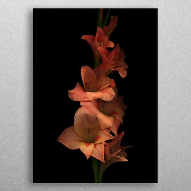Beautiful iris flower on black background metal poster