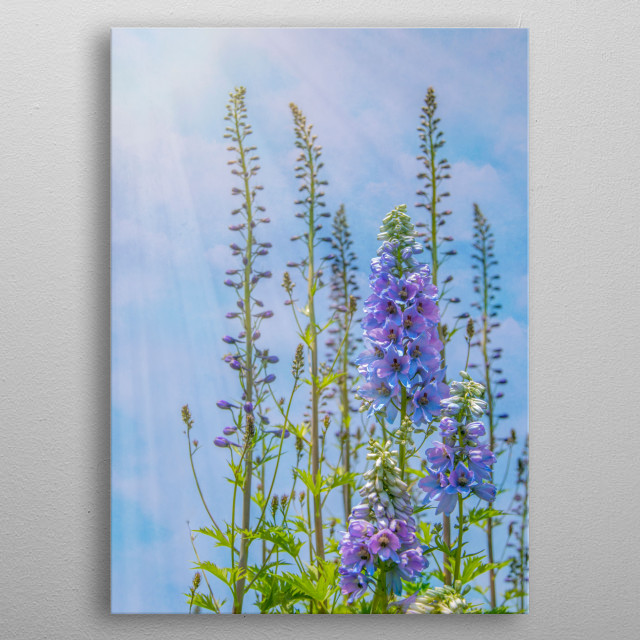 Cornflower blue and lavender foxgloves stand tall under a blue summer sky. Sunbeams stream from the left upper corner.  metal poster