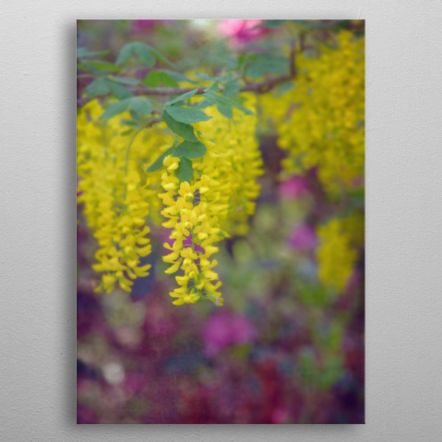 Photographed on Cape Cod, Massachusetts, these vibrant yellow and chartreuse flowers contrast with bold pinks, purples and greens. metal poster