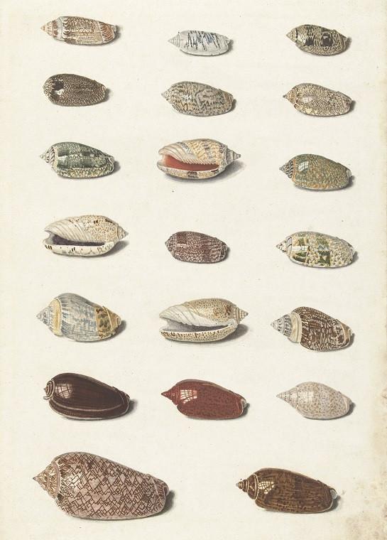 seashells vintage illustration