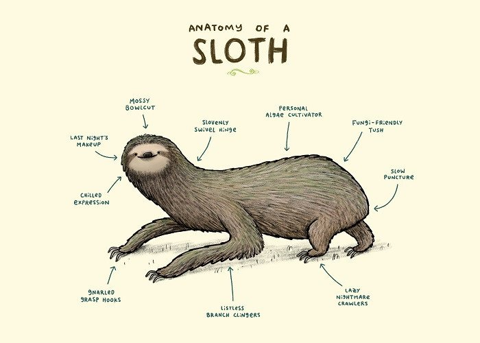 sloth anatomy illustration