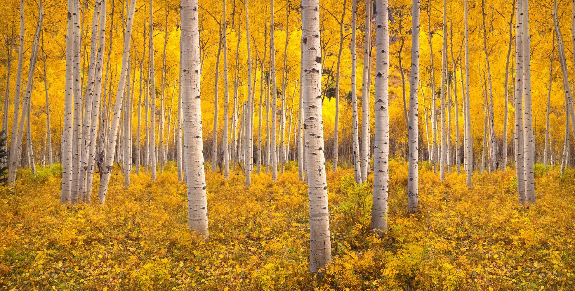 autumn-aspen-tree-forest-in-the-rocky-mountains